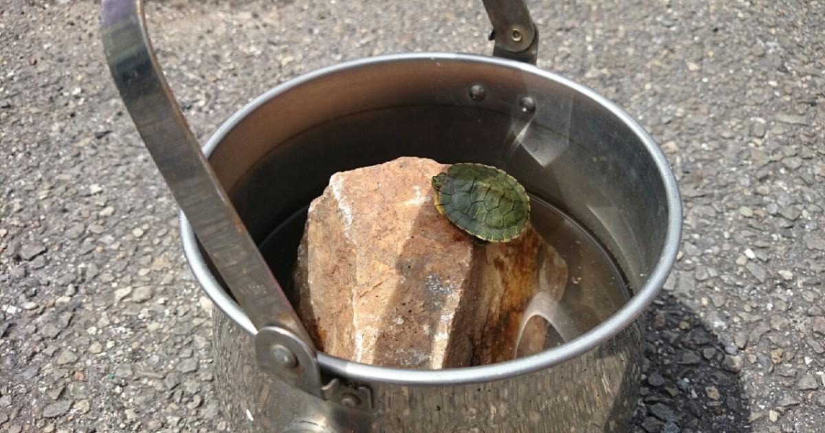 ブロンプトンで保護した亀